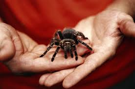 the tarantula a docile not deadly spider