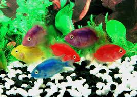 aquarium fishes freshwater fish tropical fish ornamental fish
