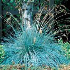 blue oat grass direct gardening