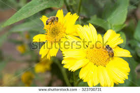 Flowers Bees Pollinate - honey bee flower stock images royalty free images u0026 vectors