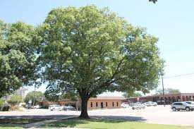 White Oak Tree What Is Wrong With My Oak Trees Columns Gainesvilleregister Com