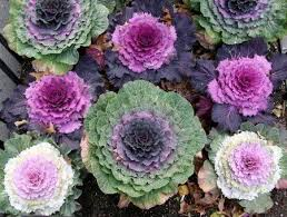 98 best ornamental cabbage images on ornamental