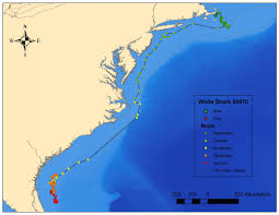 Map East Coast Florida by Great White Sharks Tracked Along The Us East Coast X Ray Magazine