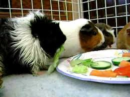 my guinea pigs eating youtube
