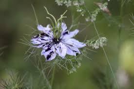 how to grow in a mist in zone 6b 7 ornamental cut flower