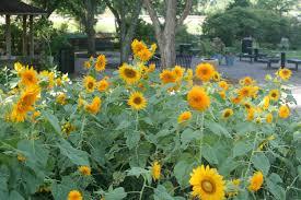 teddy sunflowers september sunflower