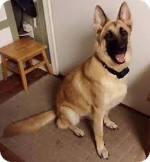 belgian malinois rescue florida hildi adopted dog ormond beach fl german shepherd dog