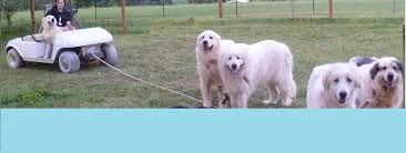 great pyrenees rescue provides wonderful dogs to good homes great pyrenees rescue of western nc we rescue great pyrenees in