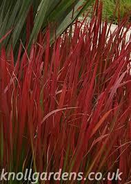 imperata cylindrica rubra baron knoll gardens ornamental
