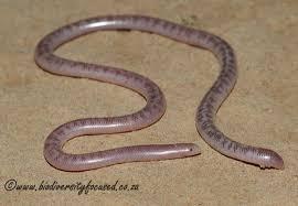 Madagascar Blind Snake Biodiversity Focused Blind Snakes Typhlopidae