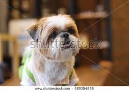 australian shepherd overbite puppy dog little chicken stock photo 310131005 shutterstock