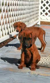 bluetick coonhound breeders ohio 699 best coonhounds images on pinterest bluetick coonhound