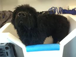 affenpinscher reviews big dog gallery aussie pet mobile bluegrass aussie pet mobile