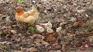 philippine chicken hen u0026 the youtube