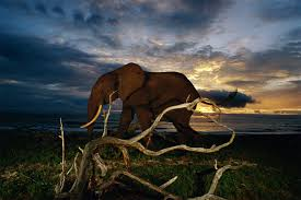gabon ground zero for forest elephants u2013 national geographic