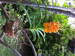 orchids for sale vanda orchids for sale philippines search vanda orchids