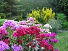 Sweet William Flowers 77 Best Phlox And Sweet William Flowers Images On Pinterest