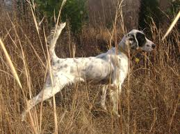 types of setter dog breeds dogwood bird dogs offers english setters hunting dogs bird dogs