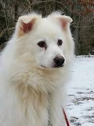 american eskimo dog chicago highland in maine coon meet