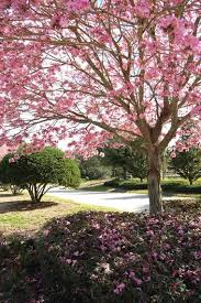trees with pink flowers the 12 best flowering trees for the garden garden design