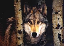 imagenes sorprendentes de lobos 56 lobos imágenes fotos y gifs para compartir imágenes cool