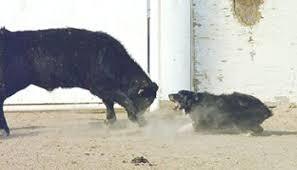 australian shepherd wolf pets4you twin oaks aussie u0027s australian shepherds website