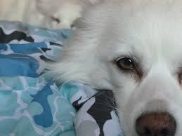 american eskimo dog for sale in hyderabad 19 best eskimo spitz images on pinterest american eskimo dog
