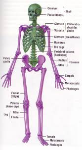 Floor Of The Cranium The Skeletal System