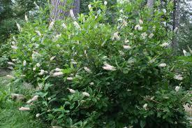 maine native plants two exuberant native shrubs in the august garden u2013 gardening in
