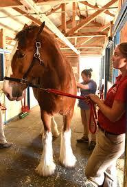 Budweiser Clydesdale Barn Budweiser Clydesdales Visit Uc Davis Horse Barn Photos