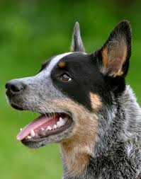 australian shepherd australian cattle dog mix best 10 australian cattle dog ideas on pinterest cattle dogs
