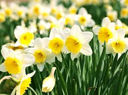how to grow daffodils saga