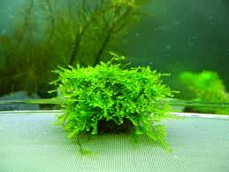 Java Moss Aquascape Jual Moss Aquascape Harga Update April 2016 Jual Tanaman Aquascape