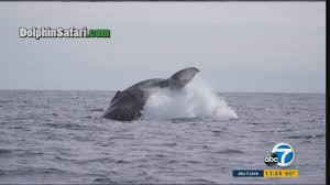 video captures humpback whale free itself from fishing gear in