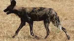 safari ltd african wild dog list 20 must see african animals when on a safari safari animals