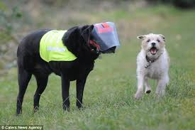 Blind Dog And Friend Guide Dog For The Blind Dog Loyal Terrier Milo Acts As 7 Year Old