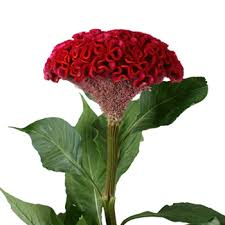 celosia flower fresh flowers