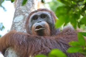bentley orangutan tanjung puting national park neils travel blog