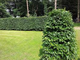 native hedge plants 15 green beech hedging plants 3 4 ft fagus sylvatica trees copper