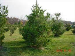 white pine tree chester county pa evergreen trees b b white pine evergreen trees