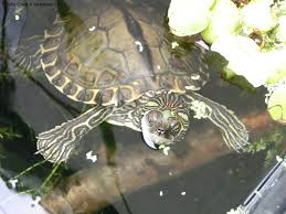 Ringed Map Turtle Graptemys Gibbonsi Natural History Care And Photo