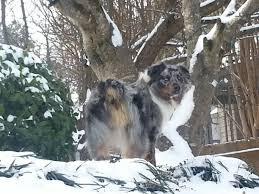 risk n hope australian shepherds keith urban adopted the dog liberator