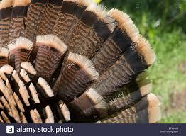 turkey up up of turkey feathers stock photo 82862284 alamy