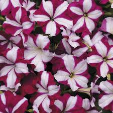 Dry Basement Wave Easy Wave Burgundy Star Petunia Seeds