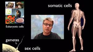 Human Anatomy Martini Cell Division Youtube