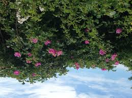 multiflora rose mary richmond u0027s cape cod art and nature