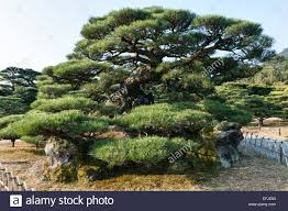 ritsurin koen garden takamatsu the black pine tree named