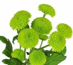 cheap bulk flowers cheap bulk flowers green button mums
