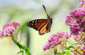 where all the monarch butterflies mnn nature