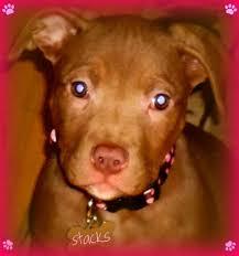 american pitbull terrier 4 weeks ashley u0027s story save an ohio pit bull